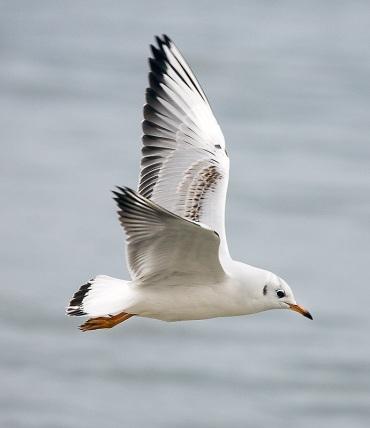 gaviota blanca volando
