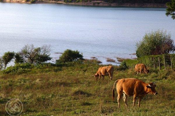 Vacas-en-Mogro