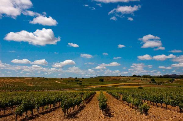 Viñedos de la Ruta del Vino Ribera del Duero